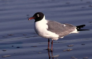 Laughing Gull | by birding4ever