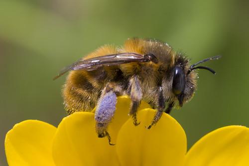 Anthophorine Female
