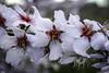 Flor de almendro by ibzsierra