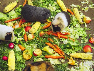 guinea pigs lunchtime   by camera-caritatis