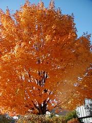 Maple Tree | by pelennor
