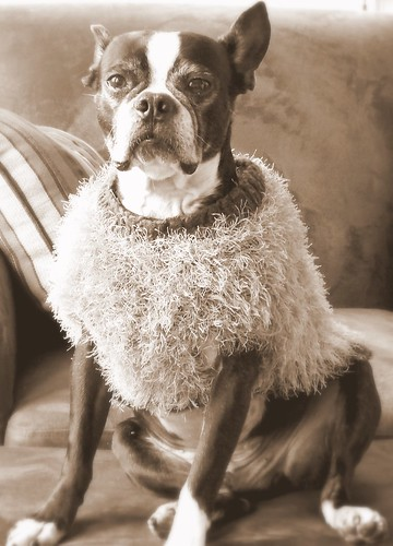 Old Fashioned Boston Terrier
