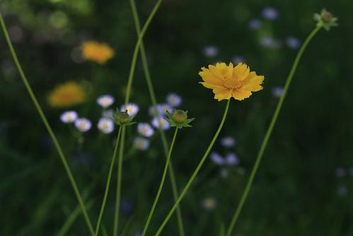 yellow wildflower yellowwildflower top20texas bestoftexas