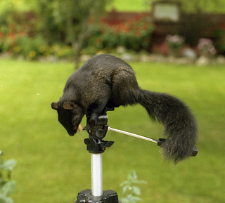 Black squirrel, Canada, 1981