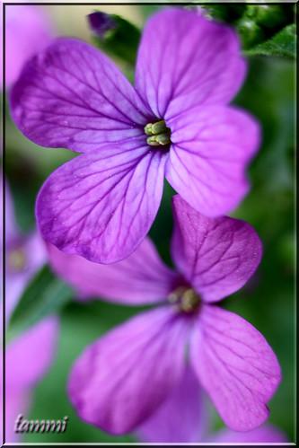 county york macro canon eos spring purple bokeh pennsylvania tammy april veins romans 2010 moneyplant tammi lunariabiennis strengthfromabove