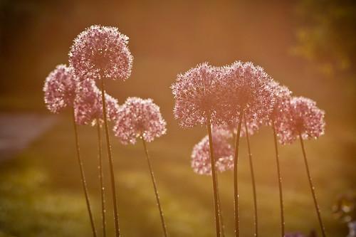 morning flowers flower sunrise dawn maryland cpc onion brooksidegardens brookside ornamentalonion