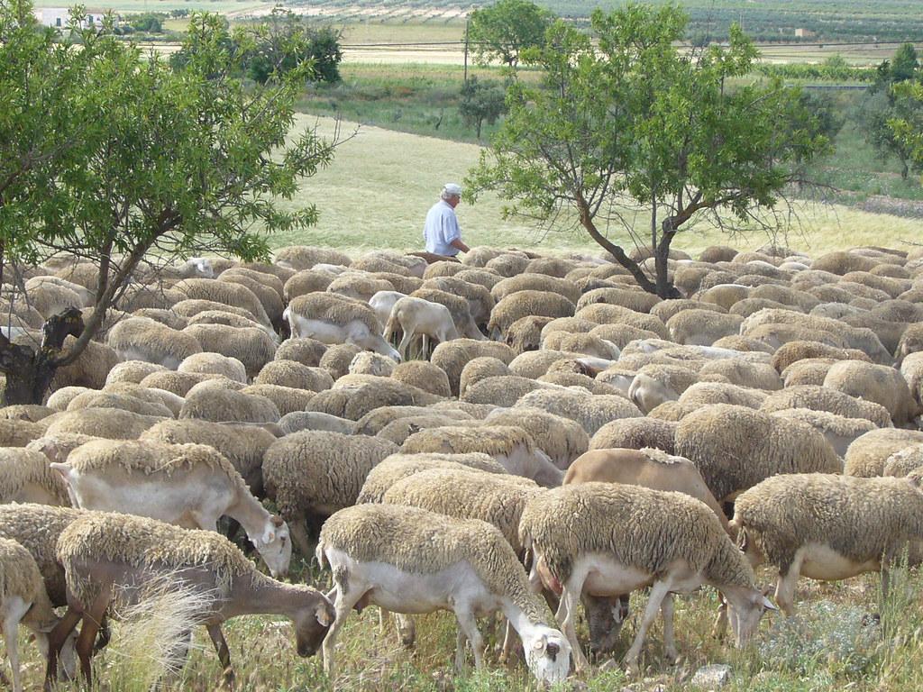 Hirte Schafe