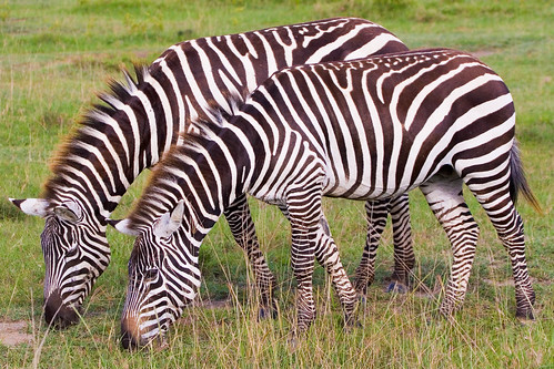 070519-111 Kenia - Zebras   by Andries3