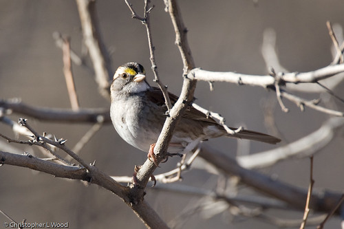 White-throated Sparrow, Canon City Riverwalk, Fremont Co., CO 16-Dec-07 | by zeledonia
