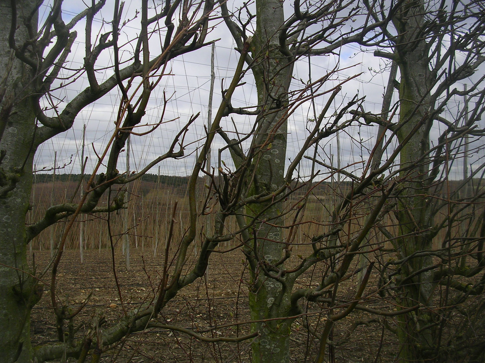 Hornbeam shelterbelt With hop poles beyond. Chilham to Canterbury
