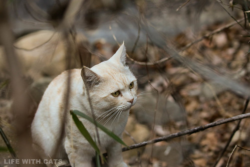 4T4A4653 Cream tabby Japanese cat 薄茶トラ猫