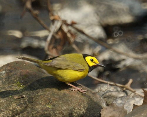 Hooded Warbler | by Mike's Birds