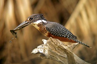Giant Kingfisher | by Joaquim Grave
