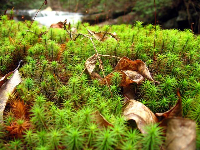 Polytrichum sp., Virgin Falls, White Co, TN