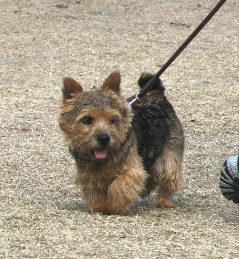 Norwich Terrier | Jean | Flickr