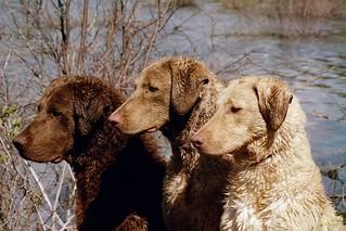 Chesapeake Bay Dogs Dani  Otter and Britt head profiles | by chesapeakes