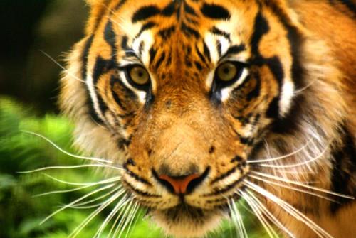 Ueno Tiger