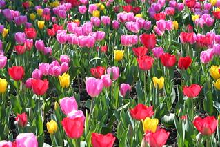 Tulips Everywhere   by John-Morgan