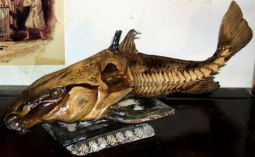 catfish amazonriver amazoncatfish