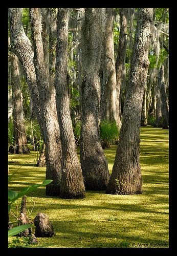trees usa tree green water landscape louisiana bald southern swamp wetlands cypress duckweed honeyislandswamp lemnaceae cypressknees lynnroebuck riverswamps cypressswamps lynnroebuckphotography