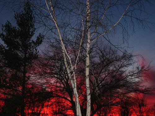 trees sunset pines birch naturesfinest