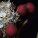 Mystery tree/shrub:  Photinia serratifolia?