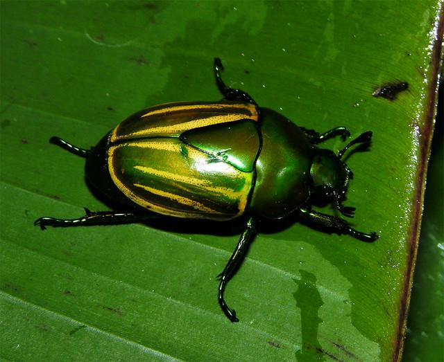 Yellow-green golden beetle (Macraspis sp, Rutelinae), Peruvian Amazon