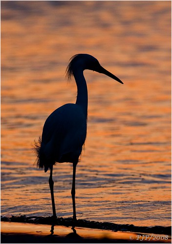 light sunset nature beauty river evening snowyegret egrettathula naturesfinest anawesomeshot canon40d canon400f56l