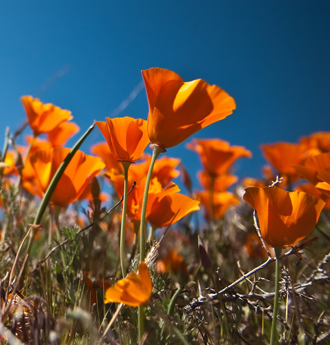 Antelope Valley Poppy Reserve | by puliarf