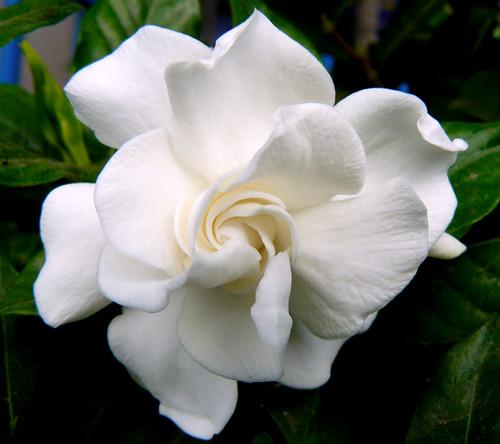 flower22 , Gardenia jasminoides veitchii