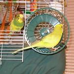 2006-09-14 C Topaz in Wheel, Tootee Looking.jpg