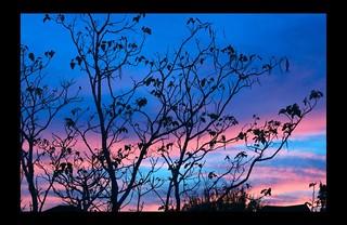 Catalpa Tree Sunset