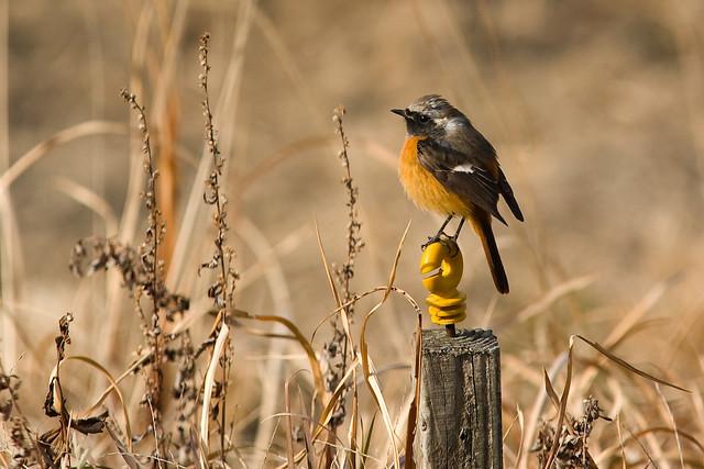 ジョウビタキ / Daurian Redstart