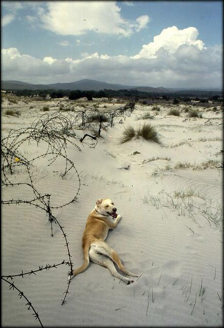 Cane giallo del Sulcis