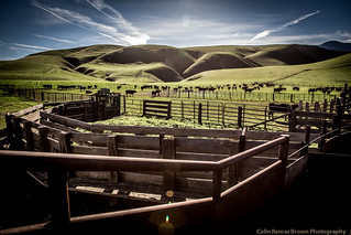 cattle-2 | by Colin Remas Brown