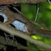 Flickr photo 'Red Squirrel (Tamiasciurus hudsonicus)' by: DrStephenD.