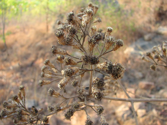 Macro thorns