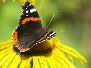 Butterfly Closeup on Yellow Flower | by webheathcloseup