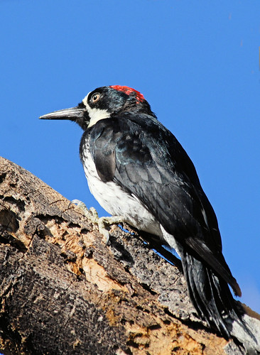 Acorn Woodpecker, female | by birding4ever