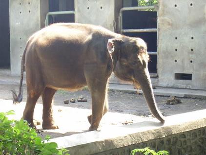 41 Koleksi Gambar Binatang Telinga Gajah Gratis