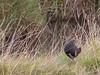 Tasmanian Native Hen by zosterops