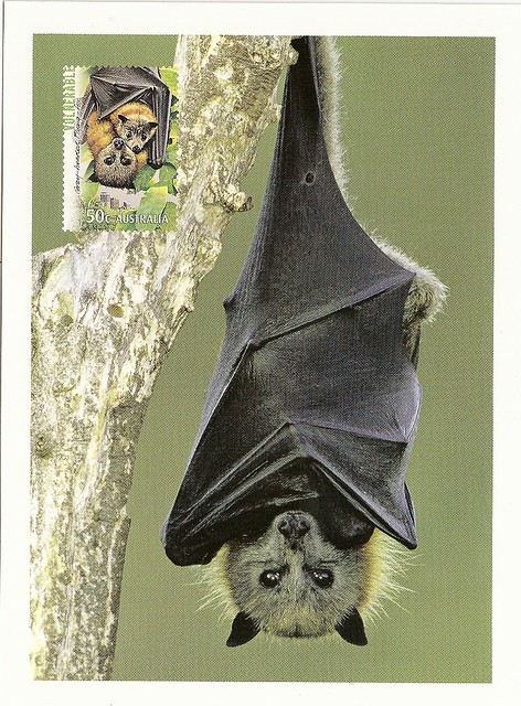 Australia - Flying Fox