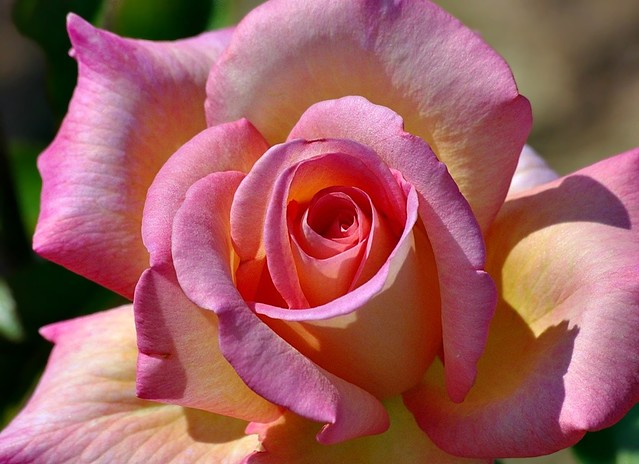 Rose 2011 -2-