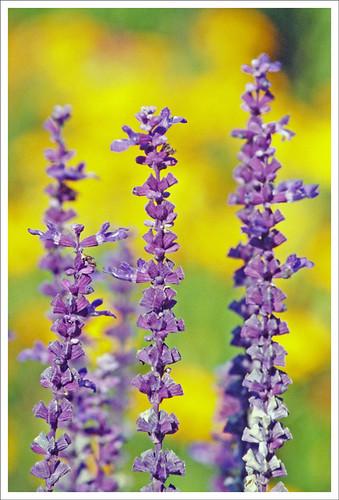 flower film yellow flora fuji purple bokeh michigan canoneos5 hdr 2007 sensia smörgåsbord hdrsingleraw kartpostal canonef70200mmf4lusm