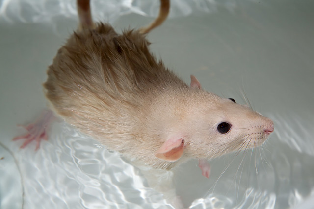 Rat Bath 6346