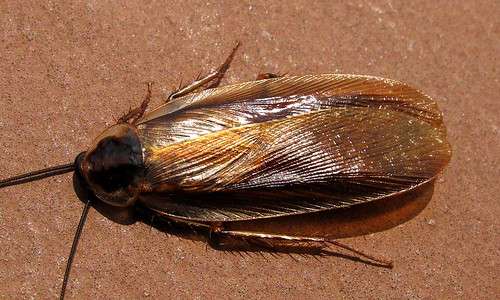 American Cockroach Black Hill Park 2   by Mr.TinDC
