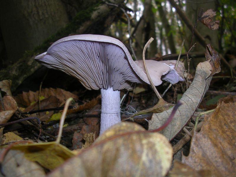 Fungus Cuxton to Sole Street