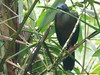 Sickle-winged Guan (Chamaepetes goudotii) by Mateo Gable