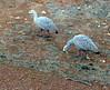 Cape Barren Goose by digicanon