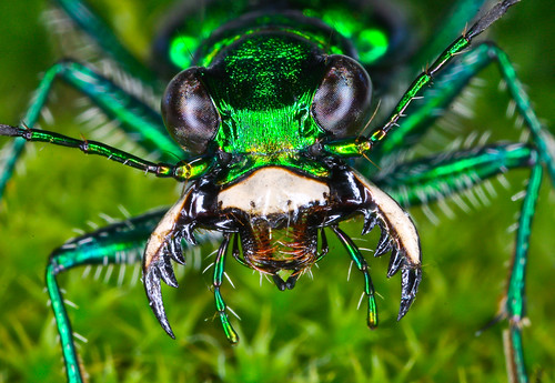 Six-Spotted Tiger Beetle, Cicindela sexguttata | by venwu225